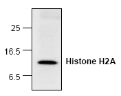 AP00281PU-N - Histone H2A