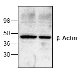 AP00310PU-N - Actin beta / ACTB
