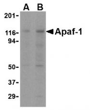 AM08448PU-N - APAF1