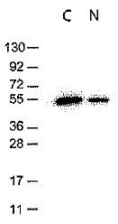 AM08434PU-S - DYKDDDDK Epitope Tag