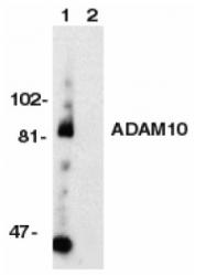 AP09140PU-N - CD156c / ADAM10