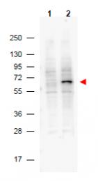 AM08441PU-N - PDCD4