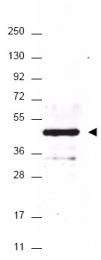 AP09230PU-N - HA Epitope Tag (YPYDVPDYA)