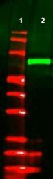 AP09228PU-N - Pk (V5) Epitope Tag (GKPIPNPLLGLDST)