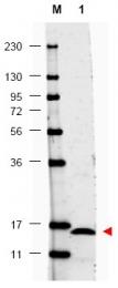 AP09190PU-N - Interleukin-17F / IL17F