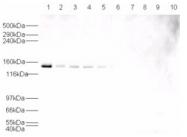 AP09237PU-N - USP7 / HAUSP