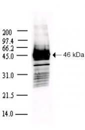 AP09151PU-N - SARS N