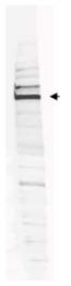 AP09250PU-N - ATPase WRNIP1