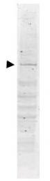 AP09211PU-N - DNA polymerase kappa