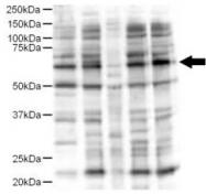 AP09271PU-N - Protein ajuba / JUB