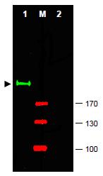AP09261PU-N - GLI2