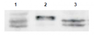AP09263PU-N - Sprouty homolog 4 / SPRY4