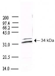 AP09152PU-N - SARS ORF1ab polyprotein