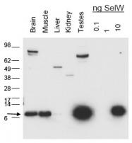 AP09370PU-N - Selenoprotein W (SELW)