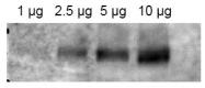 AP09346PU-N - CD243 / MDR1
