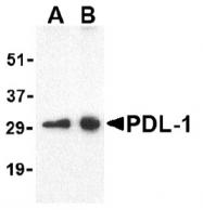 AP09391PU-N - CD274 / PDL1