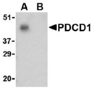 AP09392PU-N - CD279 / PD1