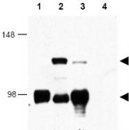 AP09325PU-N - CRTC1 / MECT1
