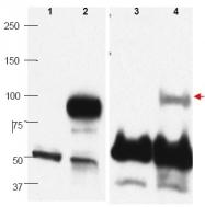 AP09421PU-N - PRDM1 / BLIMP1