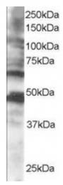AP16244PU-N - CPEB1