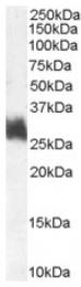 AP16500PU-N - Fos-related antigen 1