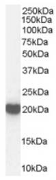AP16503PU-N - Peroxiredoxin-2 / PRDX2