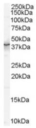AP16533PU-N - QKI / Protein quaking