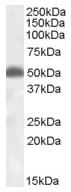 AP16689PU-N - Orexin receptor type 2