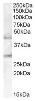 AP16681PU-N - B3GNT2 / B3GALT7