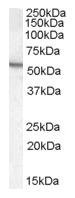 AP16675PU-N - Arylsulfatase A