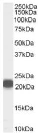 AP16553PU-N - PEBP1 / RKIP
