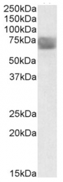 AP09436PU-N - Tripeptidyl-peptidase 1 (TPP1)