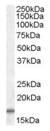 AP09453PU-N - COX IV isoform 2
