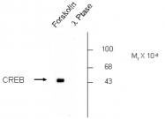 AP05188PU-N - CREB1
