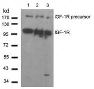 AP02787PU-S - CD221 / IGF1R