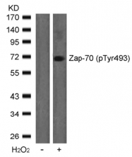 AP02442PU-S - ZAP70