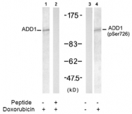 AP02458PU-S - Alpha-Adducin / ADD1