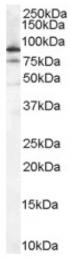 AP16474PU-N - XRCC5 / Ku80 / Ku86