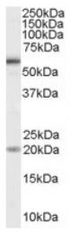AP16472PU-N - CD292 / BMPR1A