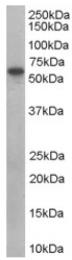 AP16465PU-N - Sorting nexin-9 (SNX9)