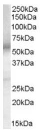AP16457PU-N - PTGER4