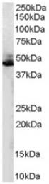 AP16413PU-N - Beta-2 adrenergic receptor