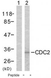 AP02675PU-S - CDK1