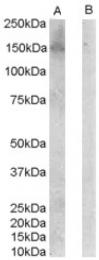 AP16404PU-N - ERBB3 / HER3