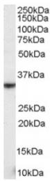 AP16392PU-N - CD314 / KLRK1
