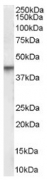 AP16381PU-N - Vitamin D3 receptor / NR1I1