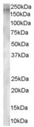 AP16379PU-N - CD249 / Glutamyl aminopeptidase