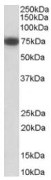 AP16376PU-N - CD271 / NGFR