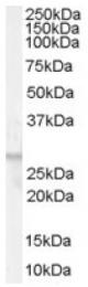 AP16369PU-N - FFAR1 / GPR40