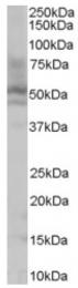 AP16346PU-N - HNF4 alpha / TCF14